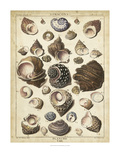Turban Shells Prints by  Dezallier