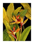 Dramatic Bird of Paradise Lámina giclée por Tim O'toole