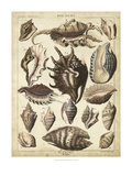 Spider Conch Shells Giclee Print by Dezallier