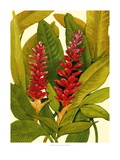 Tropical Red Ginger Giclee Print by Tim O'toole