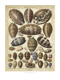 Cowrie Shells I Prints by  Dezallier