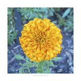 Marigold I Prints by Megan Meagher