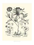 Black and White Besler Peony II Poster by Besler Basilius