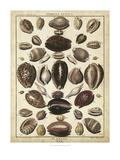 Cowrie Shells II Print by  Dezallier