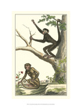 Coaita and Sajou Monkeys Prints by Denis Diderot