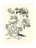 Black and White Besler Peony III Prints by Besler Basilius
