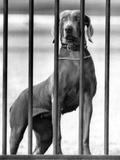 President Eisenhower's Dog, Heidi, a Weimaraner, Peering Out the White House Fence, March 5, 1958 Photographic Print