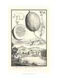 Cracked Lemon of Cedrato Kunstdrucke von Johann Christof Volckamer