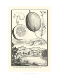 Cracked Lemon of Cedrato Giclee Print by Johann Christof Volckamer