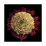 Dramatic Blooms II Prints by  Vision Studio