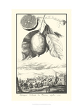 Crackled Lemon of Scorza Giclée-Druck von Johann Christof Volckamer