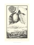 Crackled Lemon of Scorza Poster von Johann Christof Volckamer