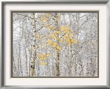 Fall Birch Framed Photographic Print by Andrew Geiger