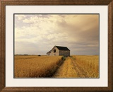 Old Barn in Maturing Spring Wheat Field, Tiger Hills, Manitoba, Canada. Framed Photographic Print by Dave Reede