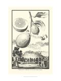 Crackled Cucumber Lemon Kunstdrucke von Johann Christof Volckamer