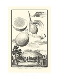 Crackled Cucumber Lemon Giclee Print by Johann Christof Volckamer