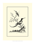 B&W Grt. and Less. Hummingbird (1742) Reproduction procédé giclée par George Edwards