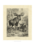 Vintage Moose or Elk Posters by Friedrich Specht