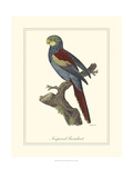 Nonpareil Parrakeet Giclee Print by George Edwards