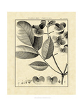 Vintage Botanical Study V Poster von Charles Francois Sellier