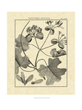Vintage Botanical Study II Giclee Print by Sellier 