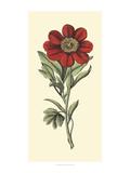 Embellished Blooming Peonies II Print by Besler Basilius