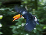 Toco Toucan (Ramphastos Toco) Flying Through the Rainforest, Brazil, Argentina Photographic Print by Andres Morya Hinojosa