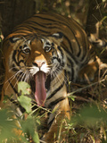 Bengal Tiger, Madhya Pradesh, Bandhavgarh, India Photographic Print by Joe & Mary Ann McDonald