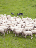 Sheep Dogs, the Wool Shed, Wairarapa, New Zealand Photographic Print by Lee Foster