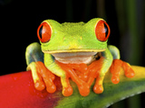 Red-Eyed Treefrog (Agalychnis Callidryas), Costa Rica Photographic Print by Andres Morya Hinojosa