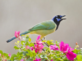 Green Jay Perched in Bougainvillea Flowers, Texas, USA Photographic Print by Larry Ditto