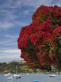Pohutukawa Tree and Akaroa Harbour, Akaroa, Banks Peninsula, Canterbury, South Island, New Zealand Photographic Print by David Wall