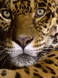 Jaguar Face (Panthera Onca), Amazon Basin, Peru Photographic Print by Andres Morya Hinojosa