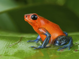 Strawberry Poison Frog or Strawberry Poison-Dart Frog (Oophaga Pumilio), Costa Rica Photographic Print by Andres Morya Hinojosa