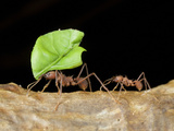 Leafcutter Ants (Acromyrmex Sp), Costa Rica Photographic Print by Andres Morya Hinojosa