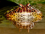 Ornate Horn Frog, Ceratophrys Ornata, Native to Northern South America Photographic Print by David Northcott