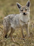Golden Jackal, Ngorongoro Crater, Serengeti National Park, Tanzania Photographic Print by Joe & Mary Ann McDonald