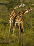 Maasai Giraffe, Ndutu, Serengeti National Park, Tanzania Photographic Print by Joe & Mary Ann McDonald