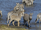 Zebra, Ndutu Forest, Serengeti National Park, Tanzania Photographic Print by Joe & Mary Ann McDonald