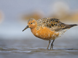 A Red Knot (Calidris Canutus) in Breeding Plumage, Washington, USA Photographic Print by Gary Luhm