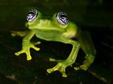 Fleischmann's Glass Frog (Hyalinobatrachium Fleischmanni), Costa Rica Photographic Print by Andres Morya Hinojosa