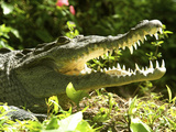 American Crocodile (Crocodylus Acutus) Costa Rica Photographic Print by Andres Morya Hinojosa
