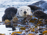 Sea Otter, San Luis Obispo County, California, USA Photographic Print by Cathy & Gordon Illg