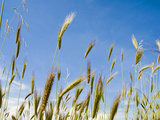 Wheat Field, Siena Province, Tuscany, Italy Photographic Print by Nico Tondini