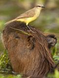Cattle Tyrant and Capybara, Pantanal, Brazil Photographic Print by Joe & Mary Ann McDonald