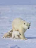 Mother Polar Bear with Three Cubs on the Tundra, Wapusk National Park, Manitoba, Canada Photographic Print by Keren Su