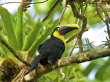 The Chestnut-Mandibled Toucan, or Swainson's Toucan (Ramphastos Swainsonii), Costa Rica Photographic Print by Andres Morya Hinojosa