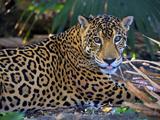 Jaguar (Panthera Onca), Central America Jaguar (Panthera Onca) Linnaeus, Costa Rica Photographic Print by Andres Morya Hinojosa