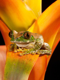 Big Eye Treefrog, Leptopelis Vermiculatus, Native to Eastern Africa Photographic Print by David Northcott