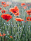 Poppies in Bloom, Washington, USA Photographic Print by Brent Bergherm